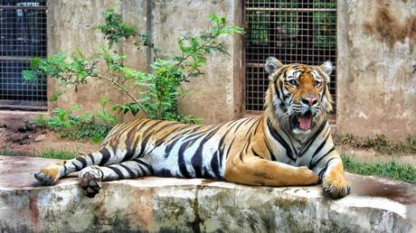 Tiger euthanized after health deteriorated in Covid-19 outbreak at Swedish zoo