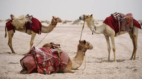 UAE scientists inject immune camels with Covid-19 in search of clues to beat the pandemic
