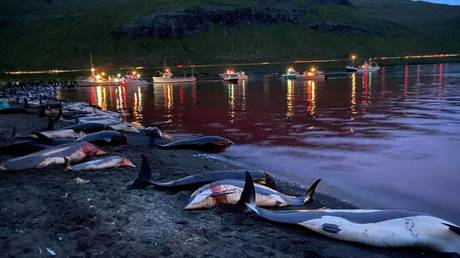 Record-breaking bloody hunt in Denmark's Faroe Islands slaughters almost 1,500 dolphins